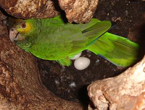 Nesting Parrot