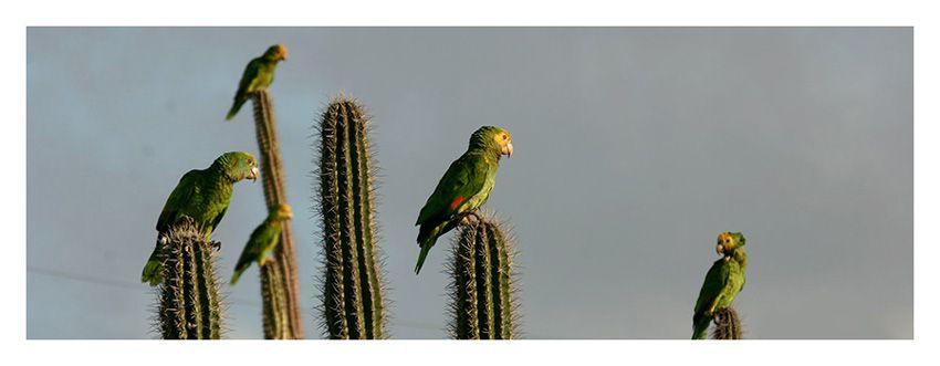 Bonaire's Parrot